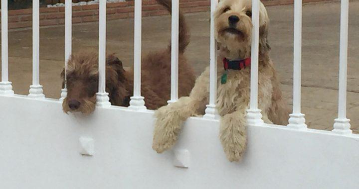 Spaanse honden op het platteland